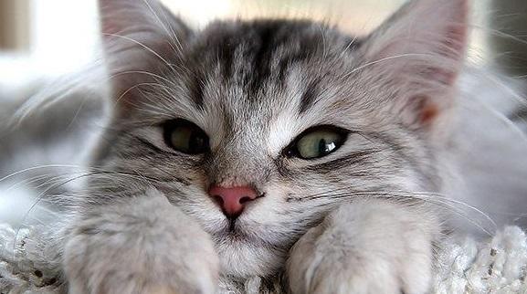 ดูแลแมว